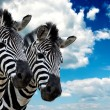 Zebra pair — Stock Photo
