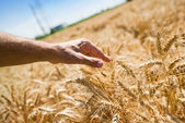 Farmer hand in wheat field — Stock Photo