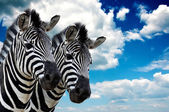 Zebra pair — Photo