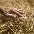 Farmer hand in wheat field — Fotografia Stock  #27837961
