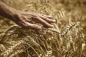 Farmer hand in wheat field — Stock Photo