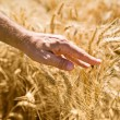 Stock Photo: Farmer hand in wheat field