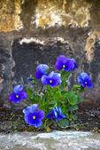 Viola tricolor — Stock Photo