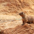 Prairie dog — Stock Photo #31975383