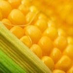 Sweey yellow corn cobs macro — Stock Photo