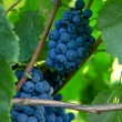 Wine grapes — Stock Photo #32547745