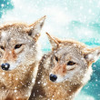 Stock Photo: Coyote pair