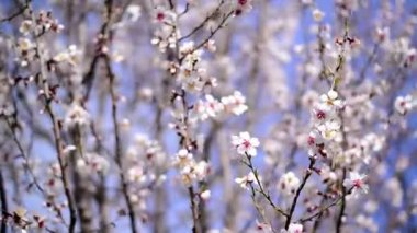 Cherry blossoms in spring, branch of cherry tree with white blossoms. Spring season. — Vídeo de stock