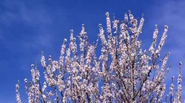 Cherry blossoms in spring, branch of cherry tree with white blossoms. Spring season. — Stock Video