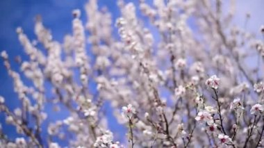 Cherry blossoms in spring, branches of cherry tree with white blossoms. Spring season. — Stock Video