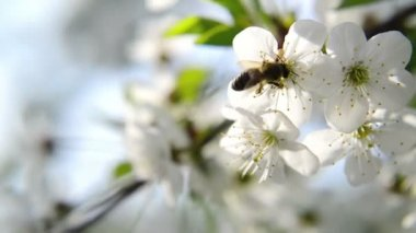Bee collecting pollen from white pear blossoming flowers. Spring season. — Stock Video