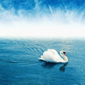 Mute swan floating on water — Stock Photo