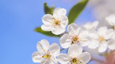 Apple blossoming flowers in the spring as seasonal background. 1920x1080, 1080p, hd footage. — Stock Video