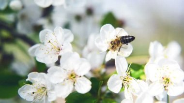 Bee collecting pollen from white pear blossoming flowers. Spring season. 1920x1080, 1080p, hd format. — Stock Video