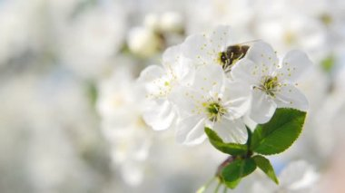 Honey Bee collecting pollen from white pear blossoming flowers. Spring season. 1920x1080, 1080p, hd format. — Stock Video