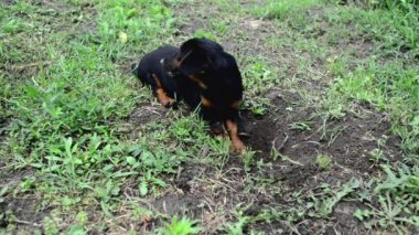 Cute little dog is digging a hole in the ground. 1920x1080, 1080p, full hd footage. — Stock Video