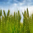 Young green wheat field — Stock Photo #47282855