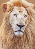 White Male lion portrait — Stock Photo