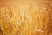 Campo di grano dorato — Foto Stock