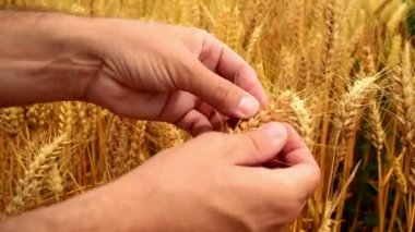 Male famer hands in wheat field. 1920x1080, full hd footage. — Stock Video