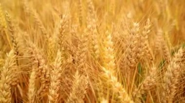 Wheat field. Golden wheat ears in agricultural cultivated field. 1920x1080, full hd footage. — Stock Video