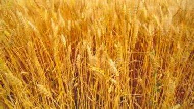In wheat field. Camera moving through golden ripening wheat ears in harvesting season. 1920x1080, full hd footage. — Stok video