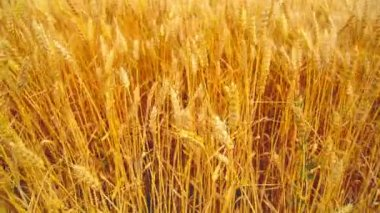 In wheat field. Camera moving through golden ripening wheat ears in harvesting season. 1920x1080, full hd footage. — Vídeo de Stock