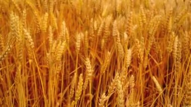 In wheat field. Ripe golden wheat straws in the wind. Agricultural harvesting season. 1920x1080, full hd footage. — Video Stock