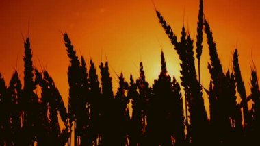Wheat ears silhouettes in agricultural cultivated wheat field. 1920x1080, full hd footage. — Stock Video