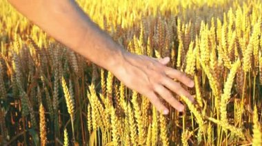Male farmer hands in wheat field. 1920x1080, full hd footage. — Stock Video