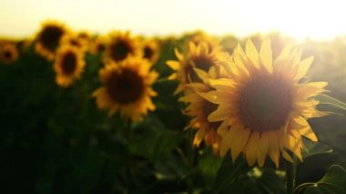 Sunflower agricultural field in sunset. 1920x1080 full hd footage. — Stock Video
