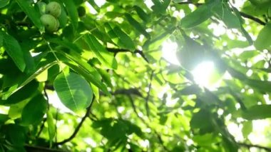 Morning Sunlight through walnut treetop and branches. Green leaves in orchard. — Stock Video