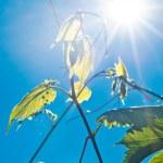 Листья зелёные вина и солнечные лучи — Стоковое фото