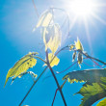 hojas verdes de vino y los rayos del sol — Foto de Stock