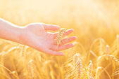 Female hand in cultivated agricultural wheat field. — Stock Photo