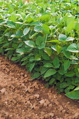 Soy plants in cultivated agricultural field — Stockfoto