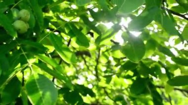 Morning Sunlight through walnut treetop and branches. Green leaves in orchard. 1920x1080, full hd footage. — Stock Video