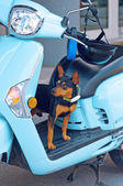 Chiwawa dog on moped — Stock Photo