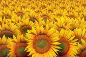 Solros fält — Stockfoto