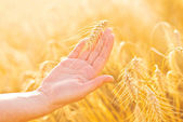 Female hand in cultivated agricultural wheat field. — Stockfoto