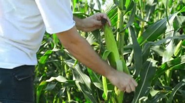 Farmer in Cultivated agricultural Corn Field examining young corn cob before the harvest season. — Stockvideo