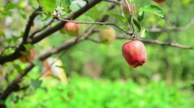 Male hand picking ripe apple fruit from a branch in orchard on a bright summer day. — Stock Video