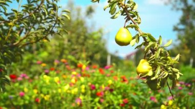 Ripe pear fruit on a branch in orchard on a bright summer day — Stock Video