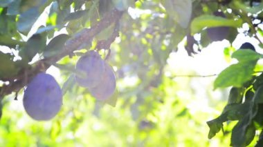 Ripe plum fruit on a branch in orchard on a bright summer day with sun light flare — Vidéo