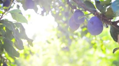 Ripe plum fruit on a branch in orchard on a bright summer day with sun light flare — Vídeo Stock