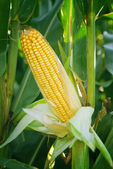 Corn Maize Ear on stalk in field — Stock Photo