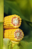 Corn Maize Cob on stalk in field — Stock Photo