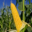 Постер, плакат: Corn Maize Ear on stalk in field