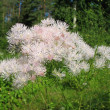 Meadow-rue (Thalictrum aquuigelifolium) in the garden — 图库照片