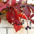 Quinata girlish grapes or grape Virginia (Parthenocissus quinquefolia) fall - Stock Photo